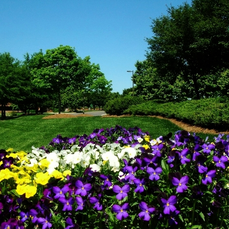 Pansies W Lawn Background.JPG