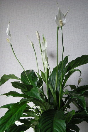 pleasurable low maintenance house plants. pleasurable popular house plants  With a little bit of tender loving care houseplants can become The Best 100 Pleasurable Popular House Plants Image Collections