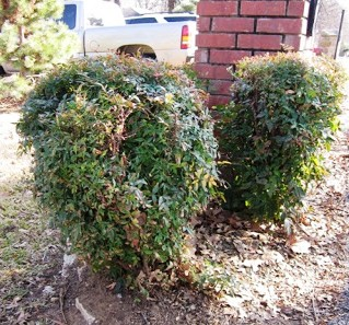 These poorly pruned - or sheared - Nandina look tired and have an unnatural shape.