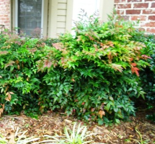 Well-pruned Nandina has thick, attractive foliage and a natural yet controlled shape.