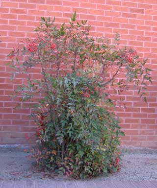 The stems showing bare canes on this Nandina should be removed to the base.
