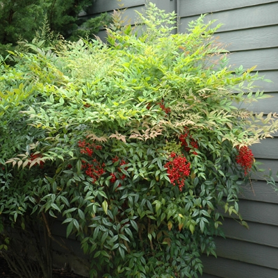 Heavenly Bamboo ,  Nandina domestica