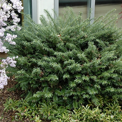False yew ,  Cephalotaxus harringtonia 'Duke Gardens'