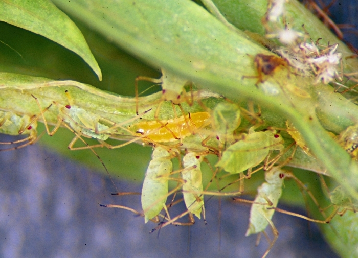Aphidoletes in a colony of aphids