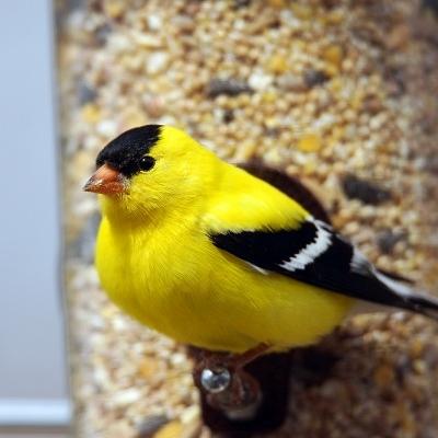 bigstock-Male-American-Goldfinch-Lookin-90651464_comp.jpg