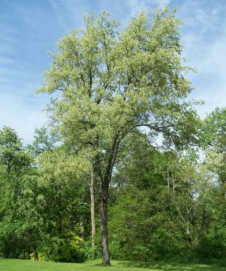 black_cherry_Tree.jpg