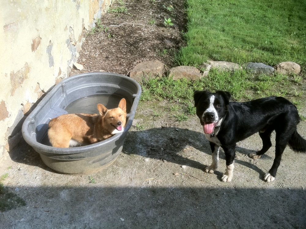 Foxy and her buddy Angus at Alliquippa Stables in Malvern, Pa 2 years ago - she LOVED to swim!