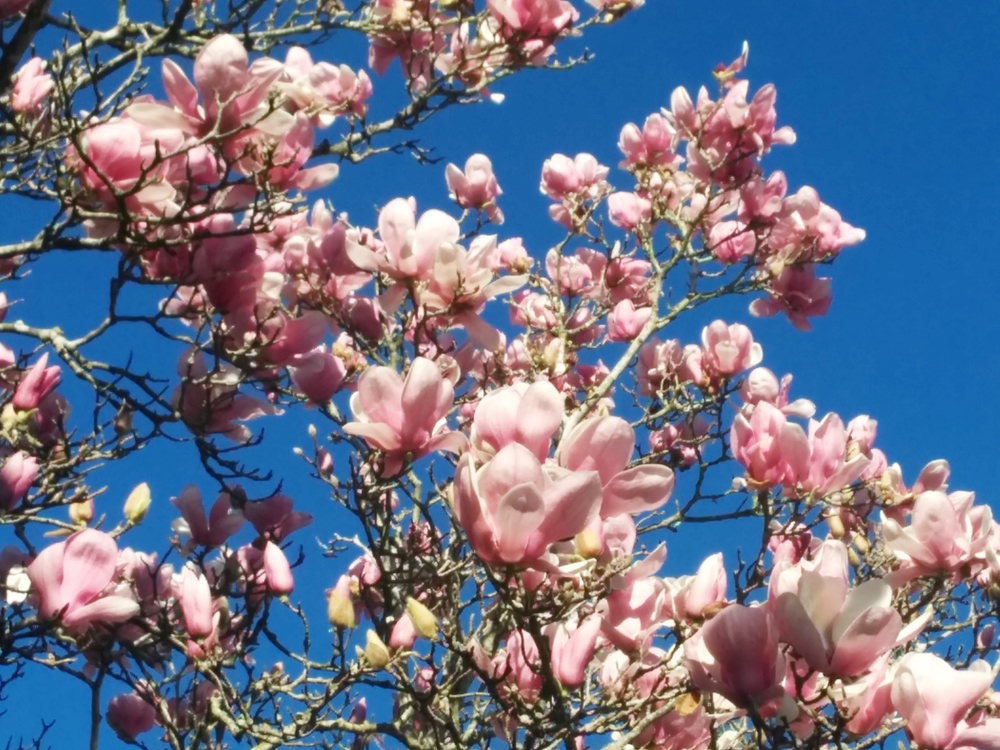 Japanese Magnolia- JHD