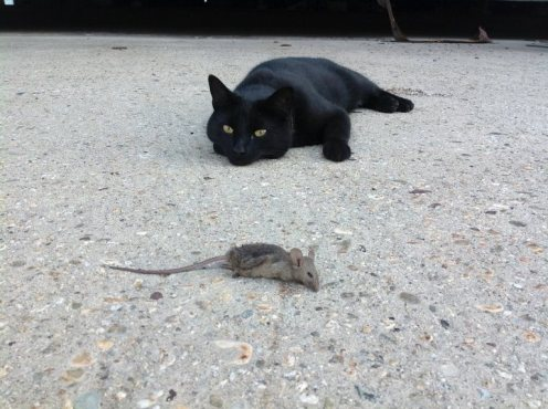 Chiclet & dead mouse.jpg