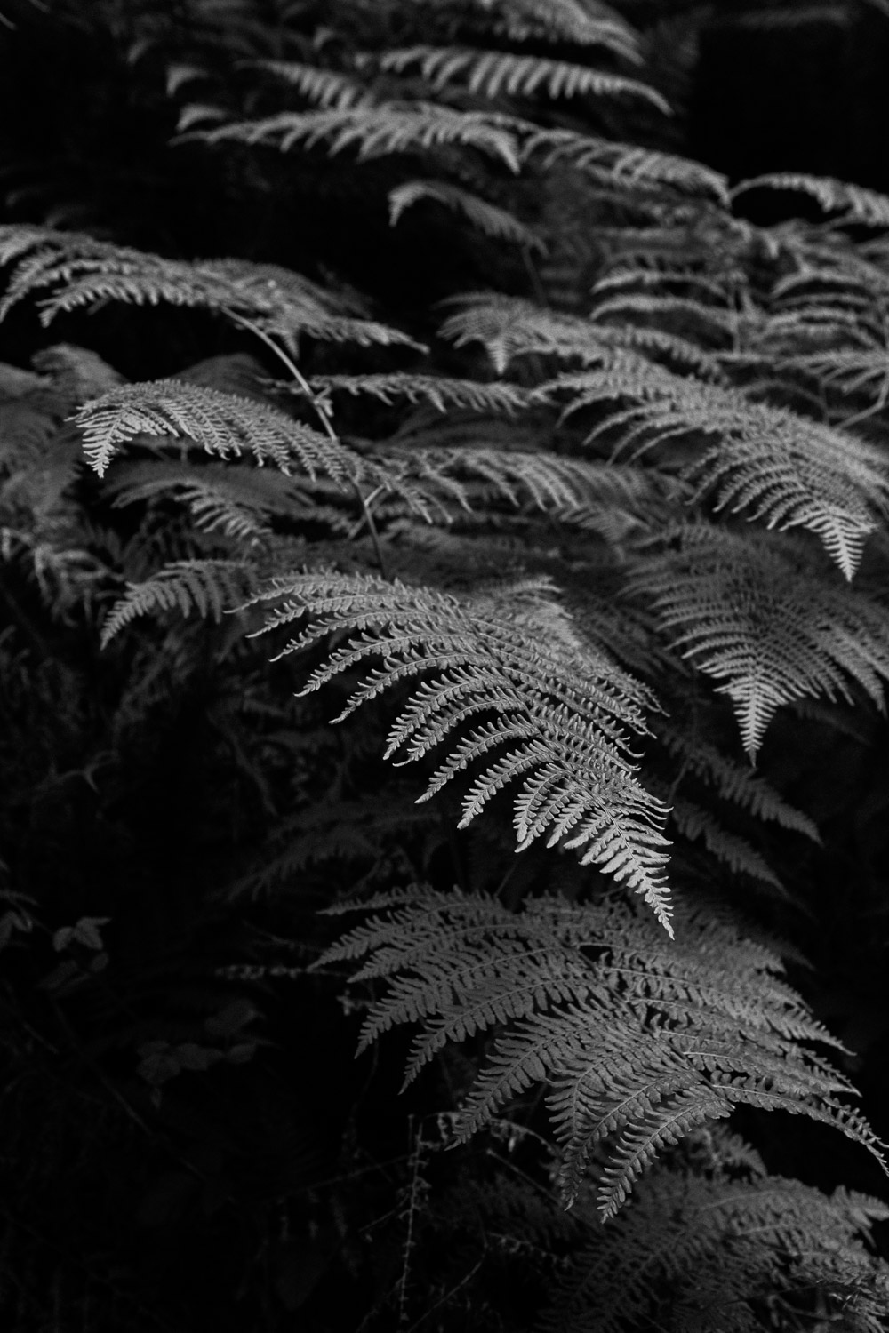 forest-ferns-black-white-plants