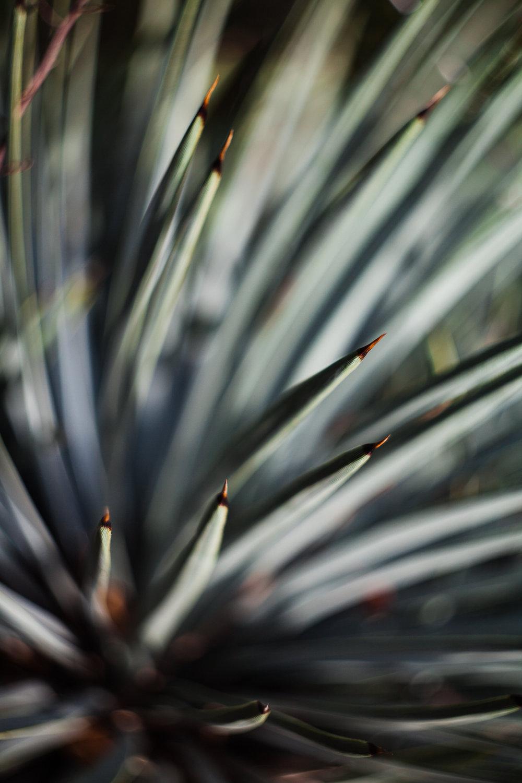 big-sur-yucca-plant