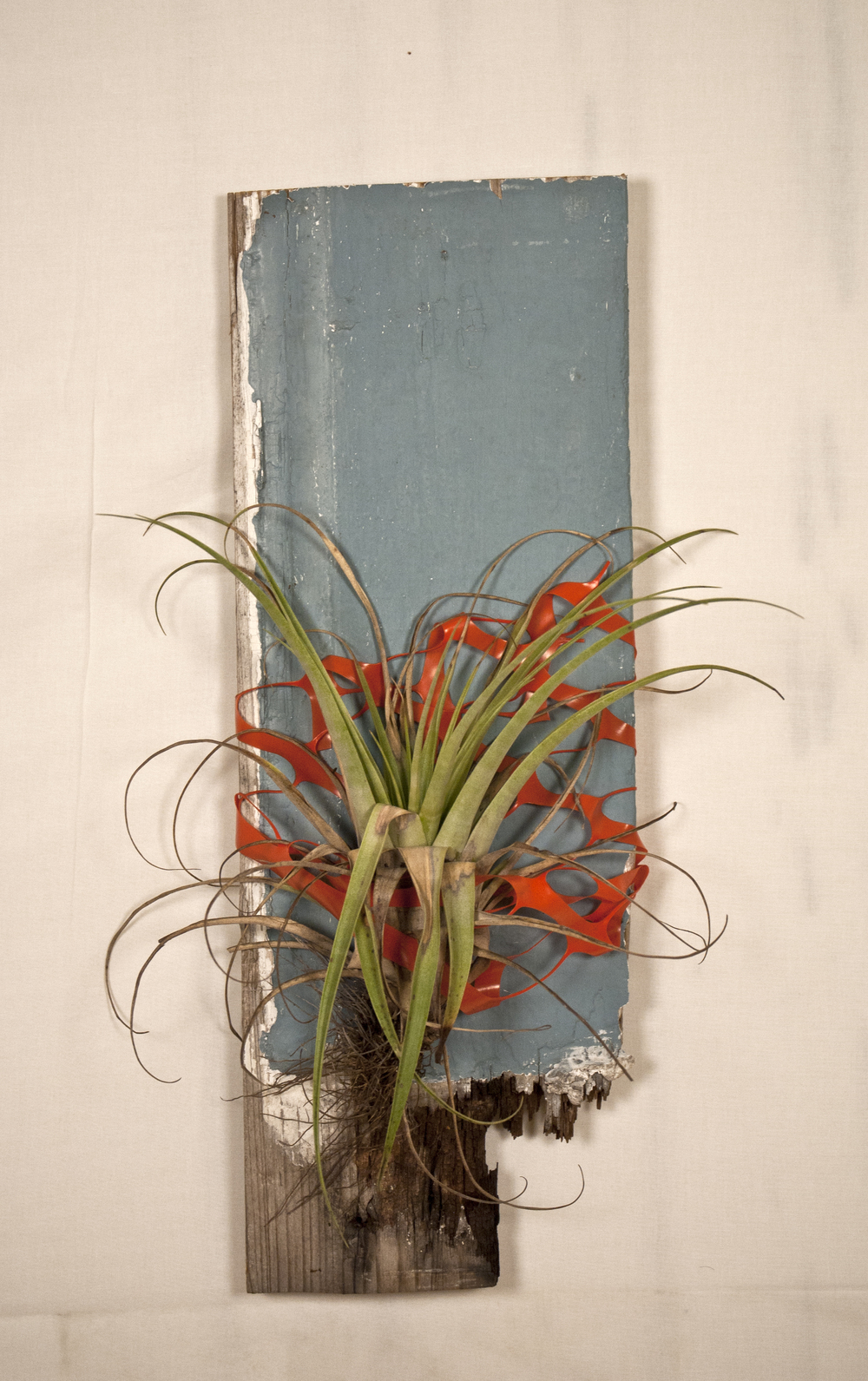 The Neighbor   Wood, orange plastic fence, epiphytic bromeliad (tillandsia fasciculata), water.