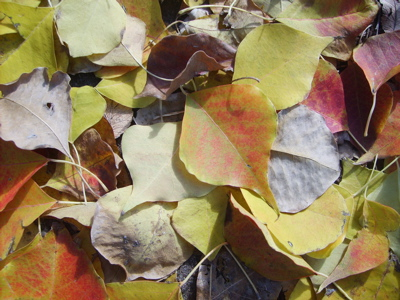 Tallow Tree Leaves.JPG