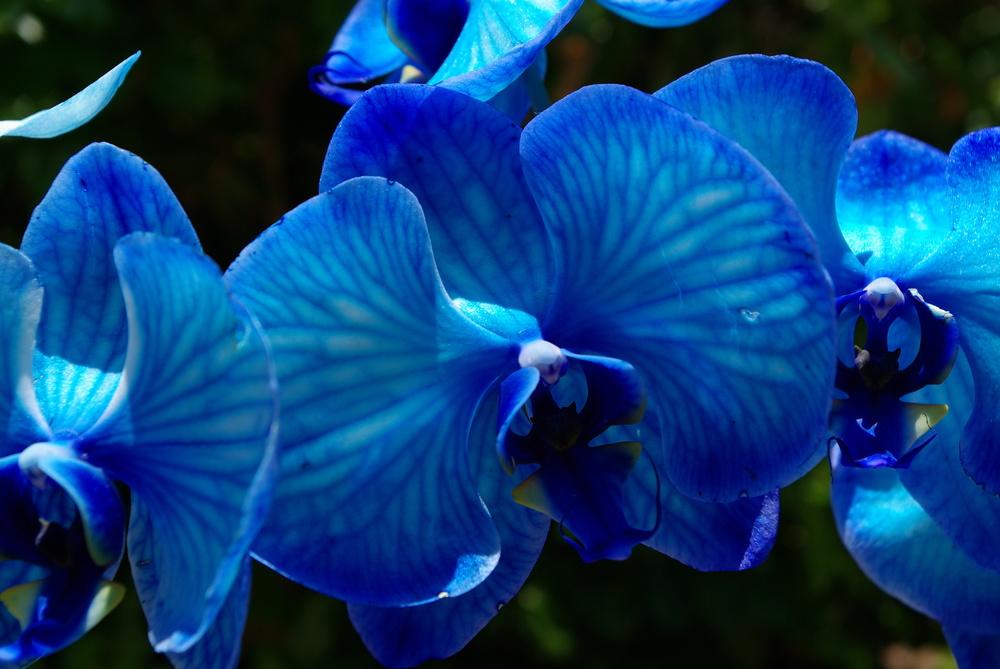 blue_orchid_by_kitsune_no_gekokujou-d3i961x.jpg
