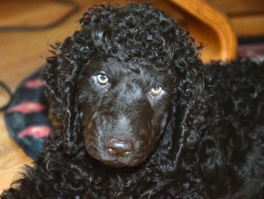 His name is Taz. This pup is the the office Irish Water Spaniel at ten weeks old.
