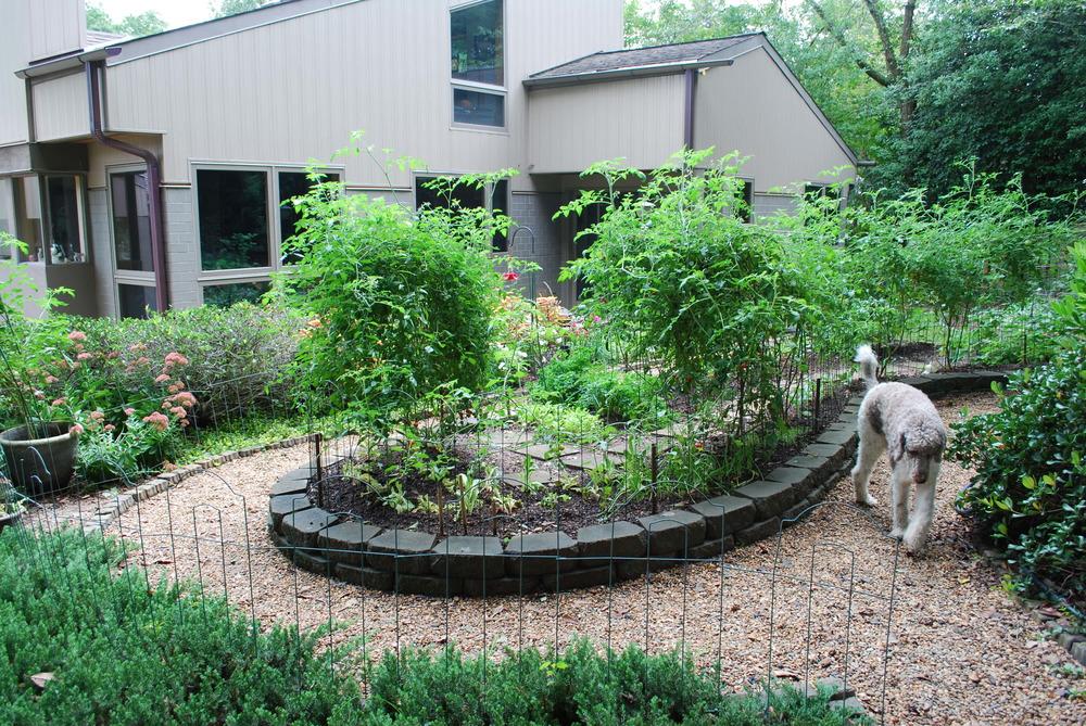 Rose Bud inspecting the vegetable garden...