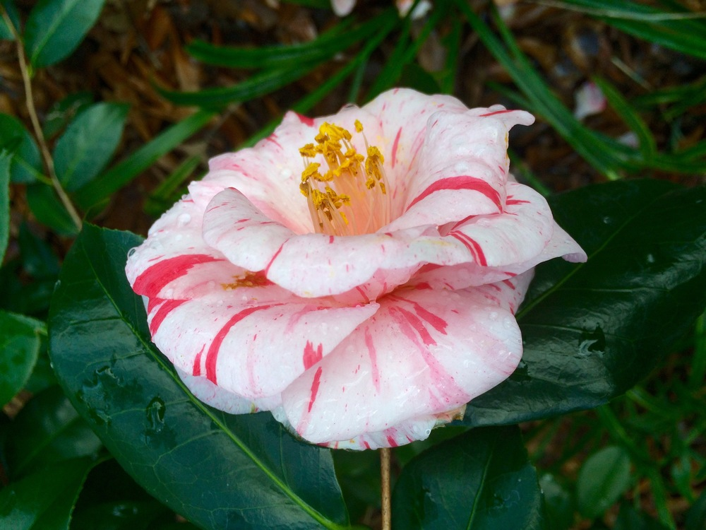 "As you can see, this Camellia bloom is a real ""looker""!"