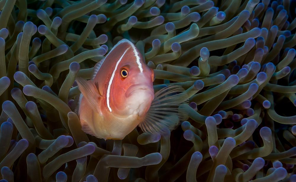 Bali_Komodo_2015_anemomefish_2500.jpg