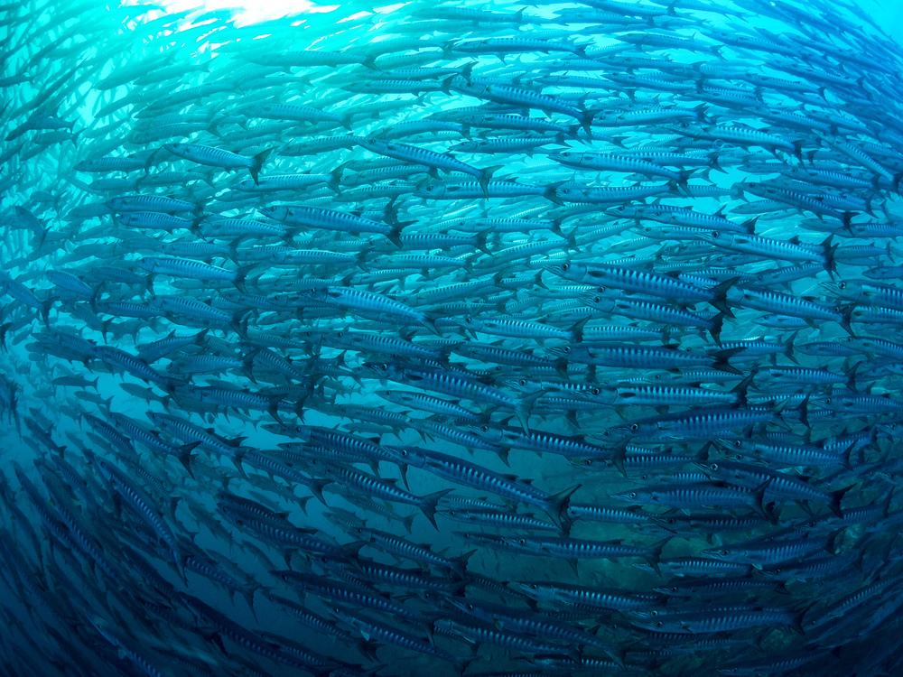 wall of barracudas_2000.jpg
