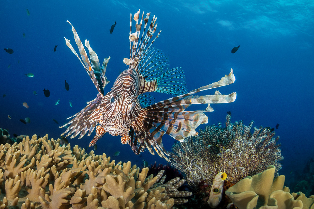 lionfish frontal_2000.jpg