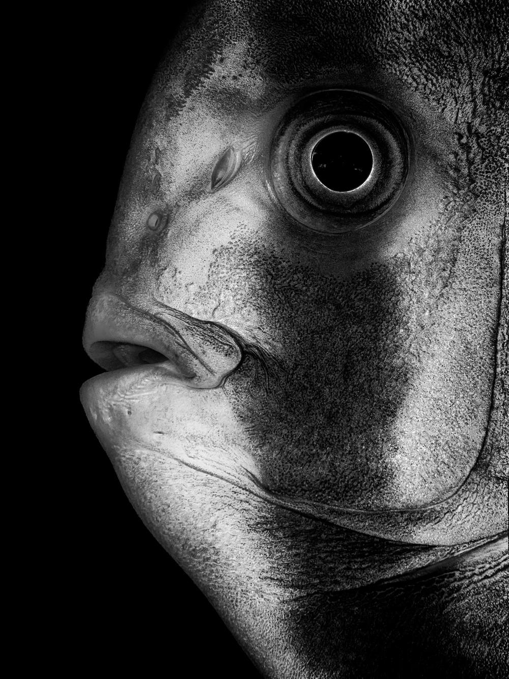 batfish_bw_no frame_2000.jpg