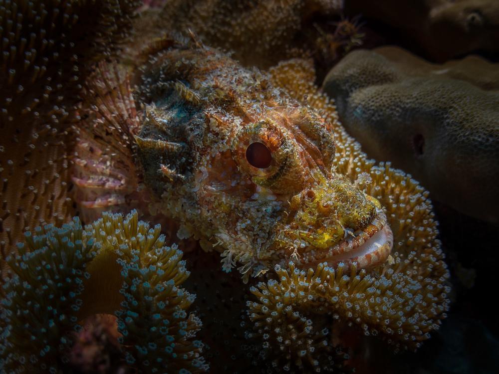 scorpionfish_2000.jpg
