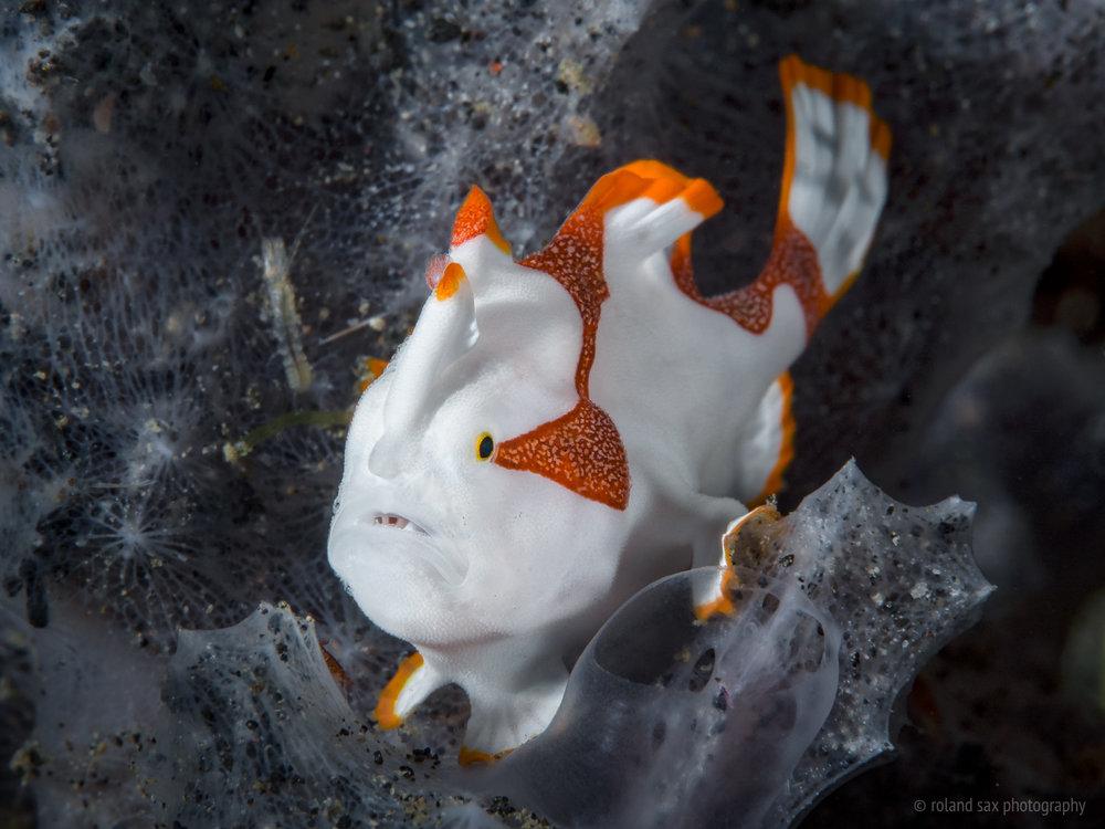 frogfishpainted_2000.jpg