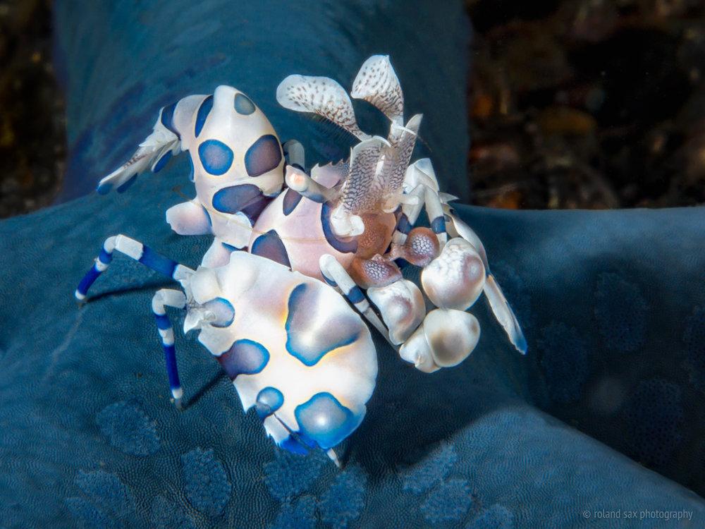 harlequinshrimp_fullres.jpg