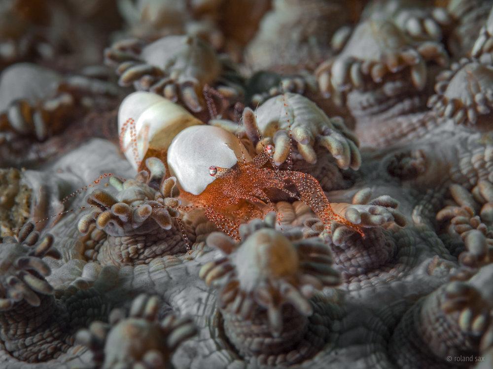 eggshellshrimp_2000.jpg