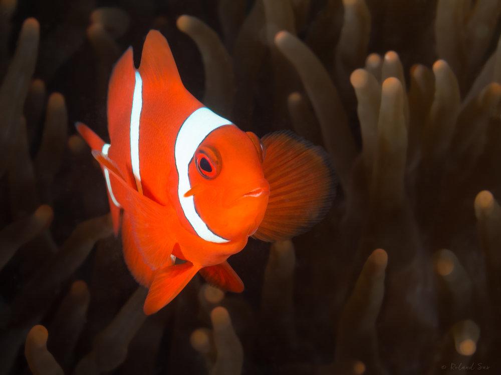 clownfish_2000.jpg