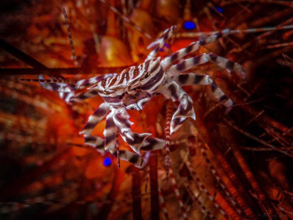 zebracrabX_2000.jpg