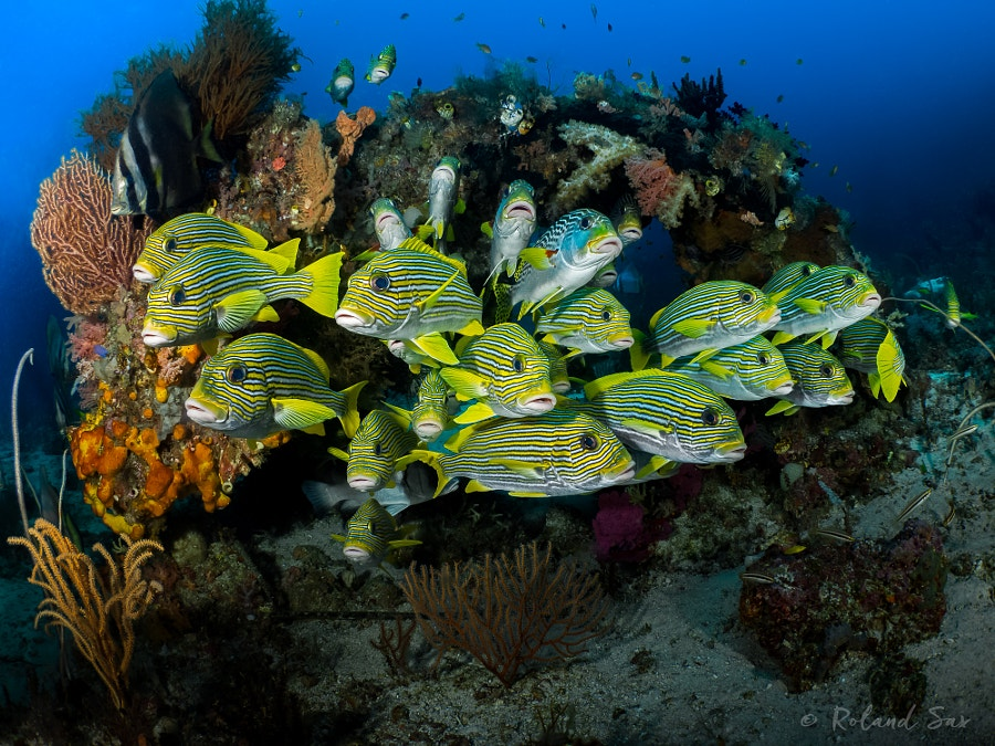 ribboned sweetlips (plectorhinchus polytaenia)