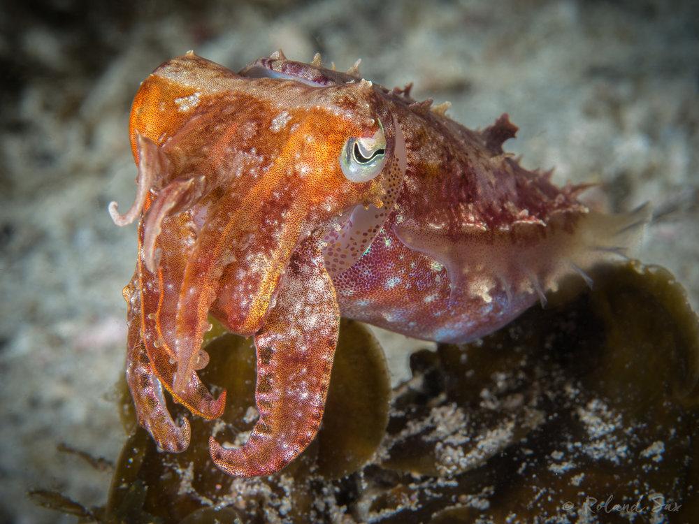 cuttlefishy_2000-.jpg