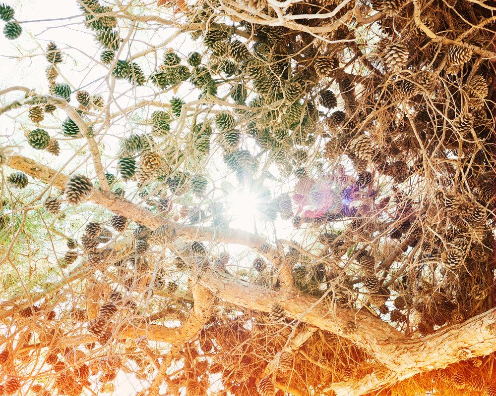 Pine-Cones-no.-2.jpg