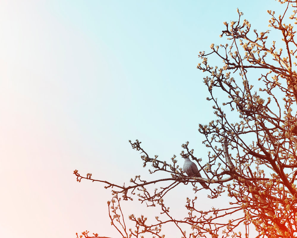 Pigeon no. 1.jpg