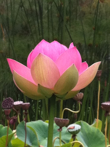 Photo by Julianne Flora-Tostado   Flower Essence of Lotus:   open and expansive spirituality, meditative shift towards intuitive insight and synthesis.