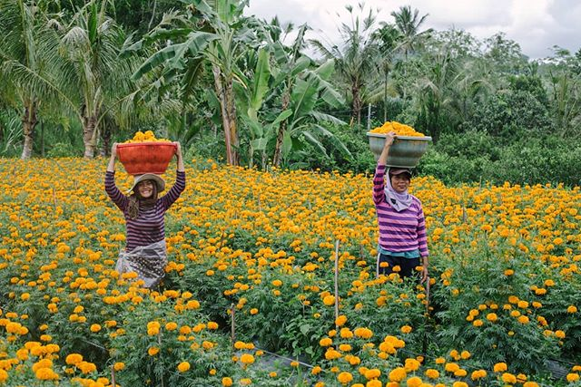 Rounding out my second year of escaping winter, I'm spending six weeks here in Indonesia, soaking up some sun, and thus far really enjoying being surrounded by warm Balinese people, like these two girls who were picking marigolds to be used in canang sari, daily flower offerings made by Balinese Hindus.