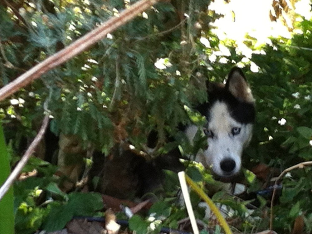 Bolo hiding in the bushes - You can't see me!