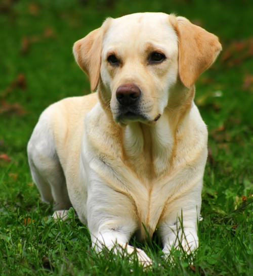 labrador-retriever (1).jpg
