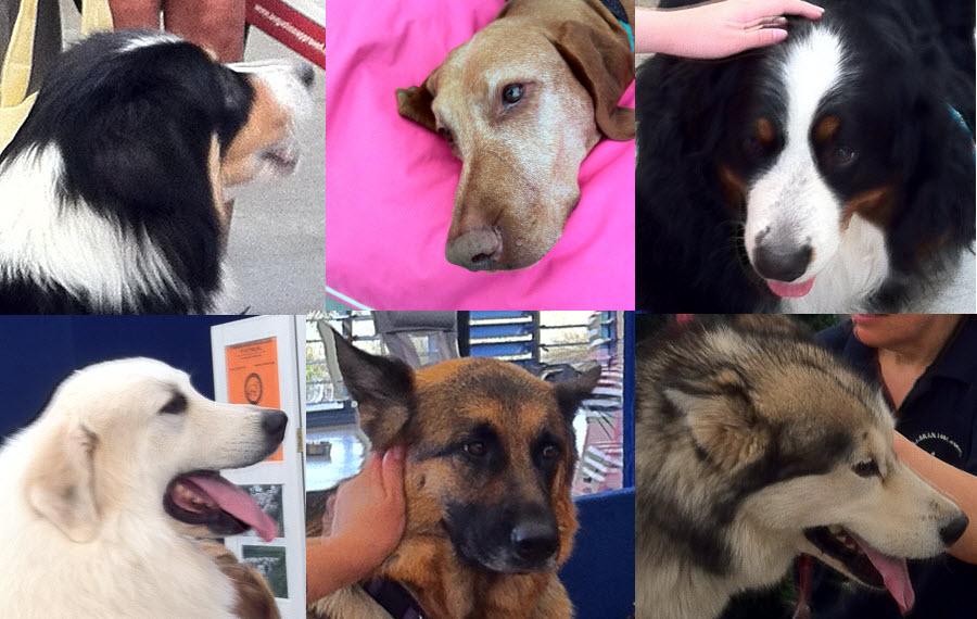 (Top 3, Bottom 3) Australian Shepherds, Hungarian Vizlas, Bernese Mountain Dogs, Great Pyrenees, German Shepherds and Alaskan Malamutes.