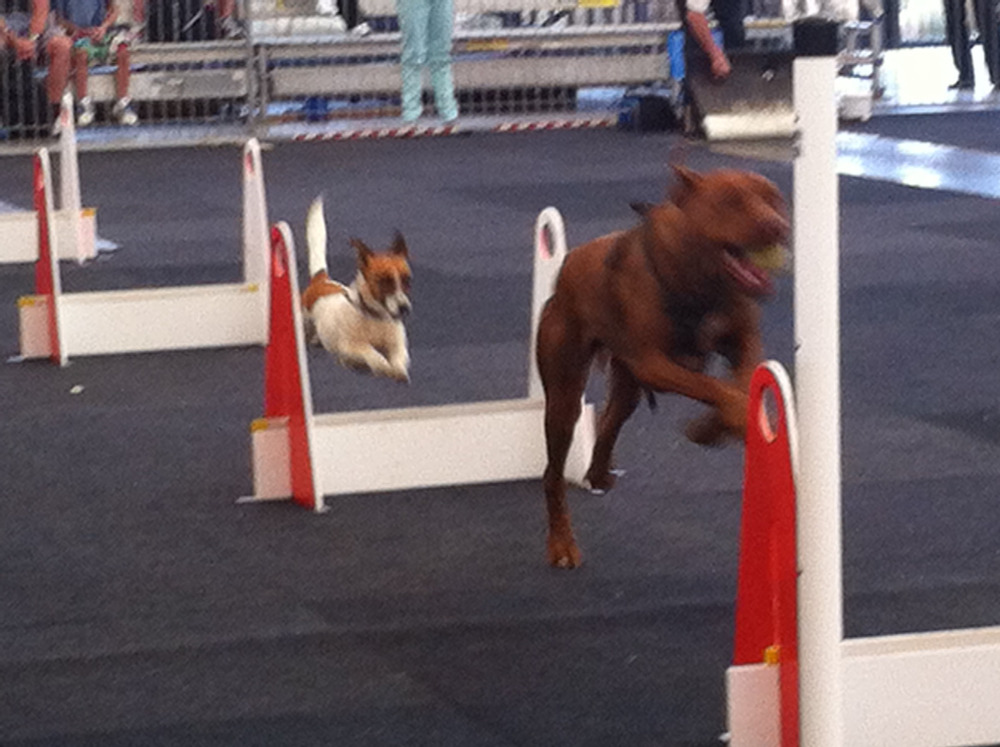 Flyball Double Act.
