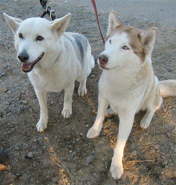 Alaskan husky and Siberian husky.