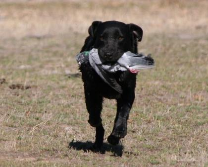Click through to read about retrieval training with Field and Game Australia Inc.