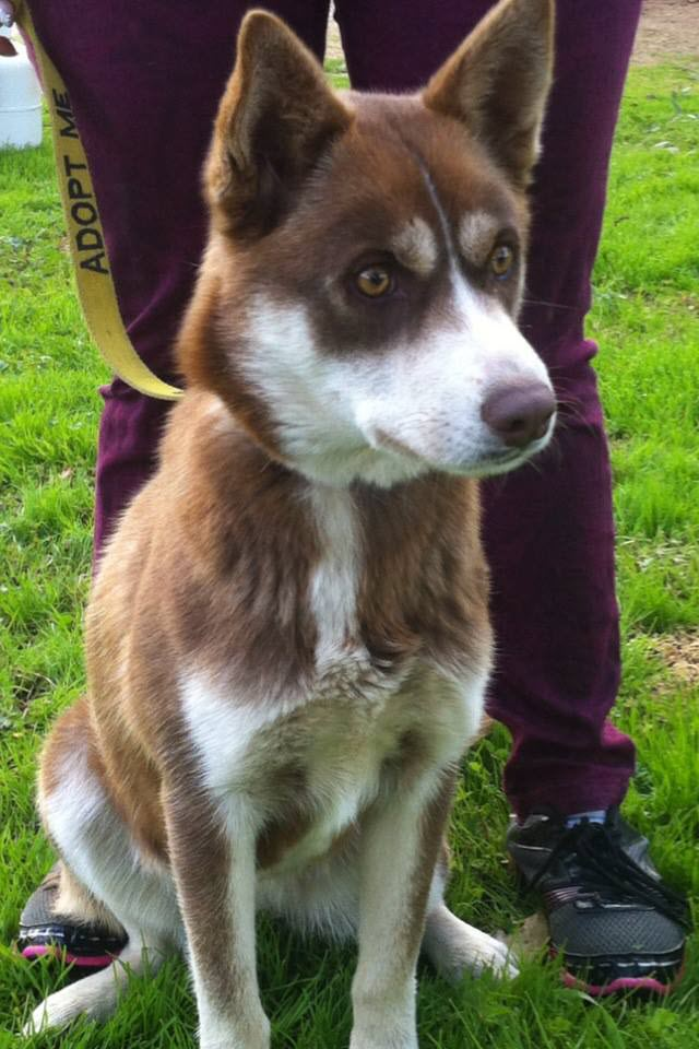 """Ruby"" female husky x, approx 12 months, Microchipped, desexed, vaccinated, vet checked, flea and worm treated."