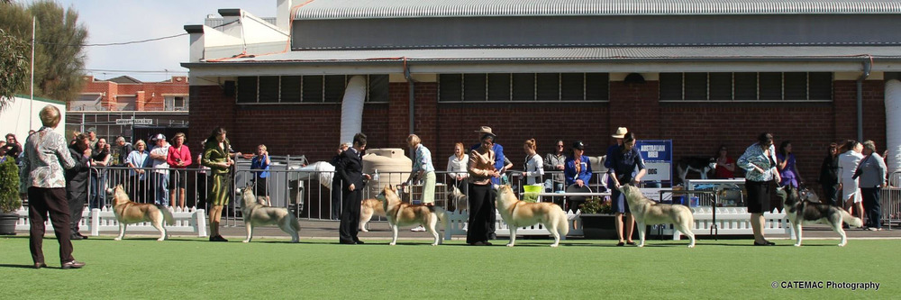 The line up at Australian Bred Dog, by Catemac.