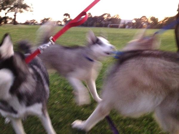 Husky flirting - too fast!