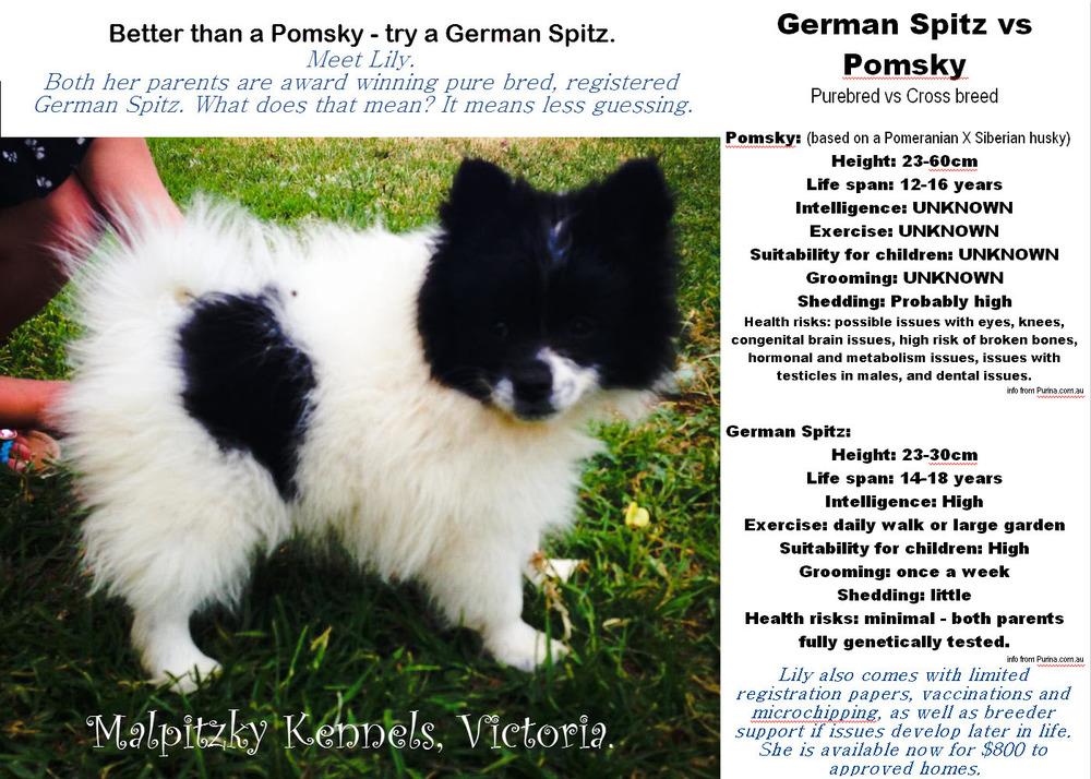 German Spitz Malpitzky Aug 2013 litter 2 Better than a Pomsky.jpg