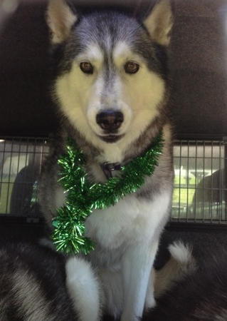 Daddy, she's making me wear tinsel!