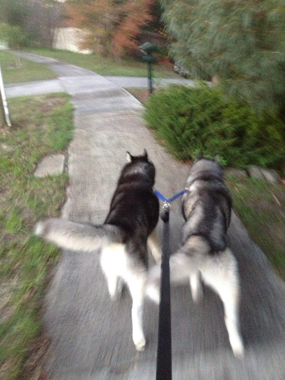 "walking Frankie and Ishka ""on a brace"""