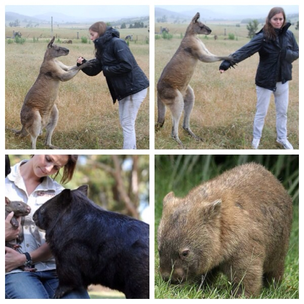 My cousin's first meeting with a roo got a bit tense when he decided to stand up for a kiss, and a wombat - a furry tree stump of an animal - images from the Internet.